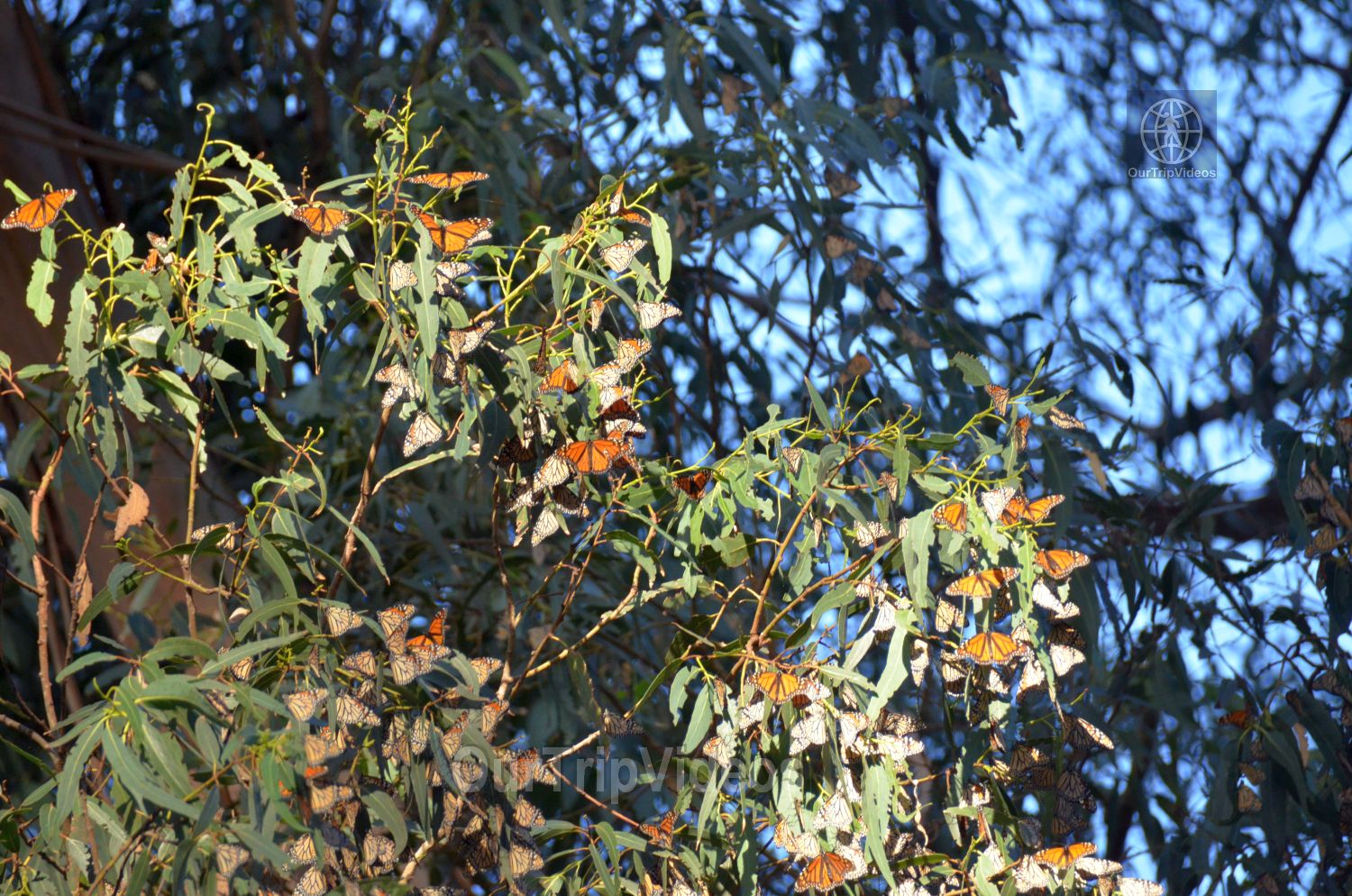 Monarch Butterfly Grove, Pismo Beach, CA, USA - Picture 13 of 25