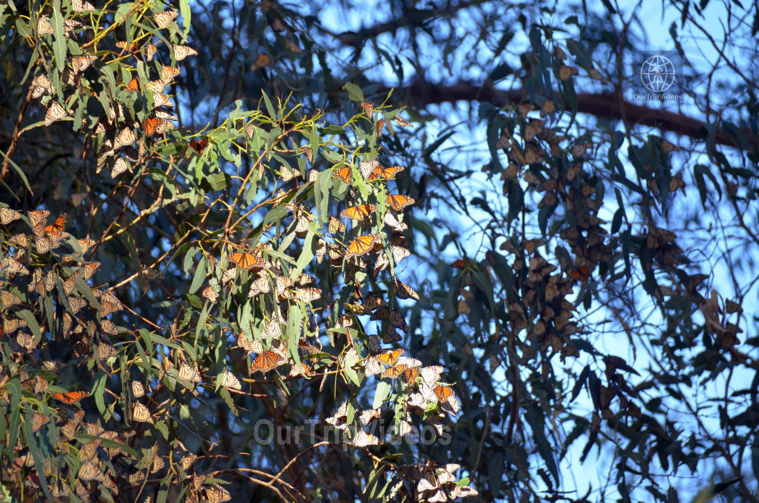 Monarch Butterfly Grove, Pismo Beach, CA, USA - Picture 14 of 25