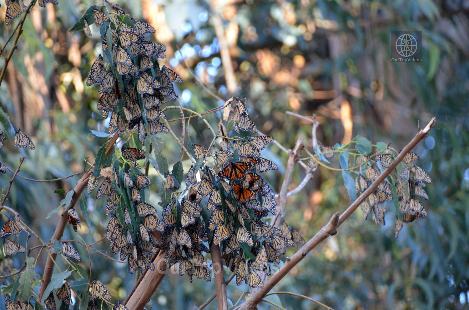 Monarch Butterfly Grove, Pismo Beach, CA, USA - Picture 15 of 25