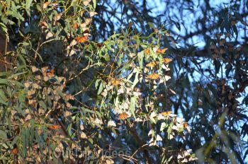 Monarch Butterfly Grove, Pismo Beach, CA, USA - Picture 12