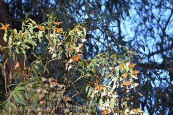 Monarch Butterfly Grove, Pismo Beach, CA, USA - Picture 13