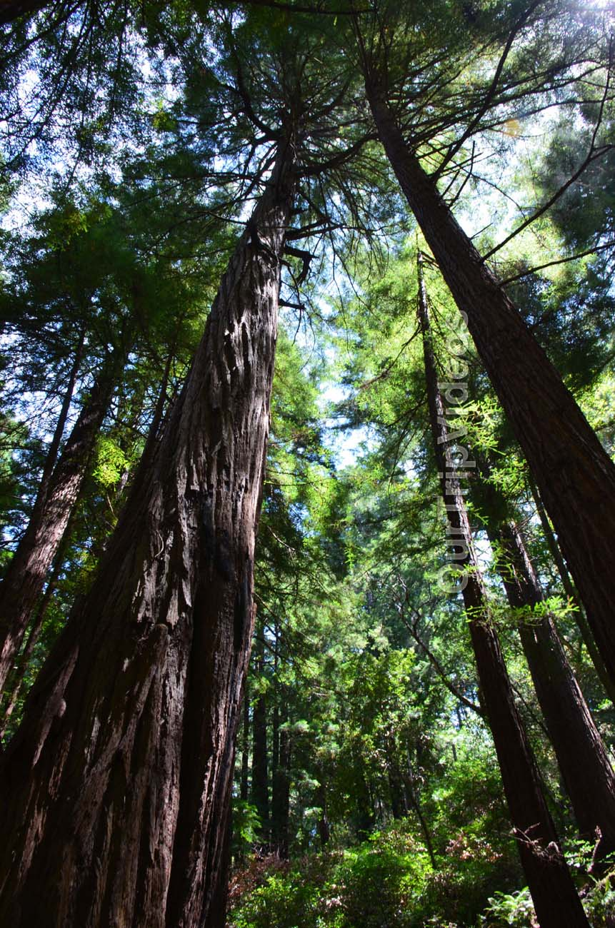 Muir Woods National Monument, Mill Valley, CA, USA - Picture 38 of 50