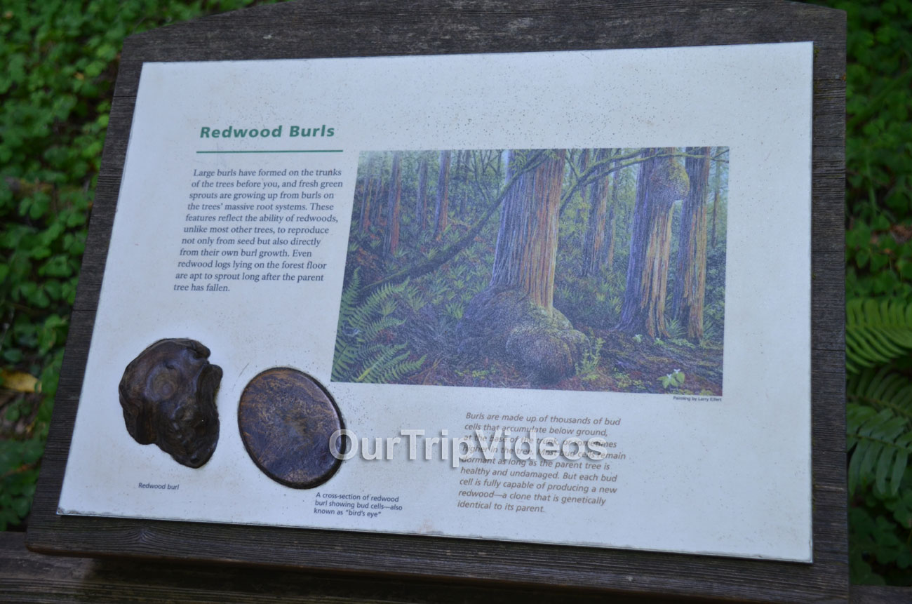 Muir Woods National Monument, Mill Valley, CA, USA - Picture 78 of 100