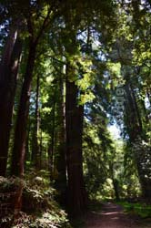 Muir Woods National Monument, Mill Valley, CA, USA - Picture 23