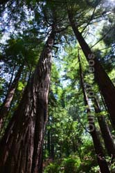 Muir Woods National Monument, Mill Valley, CA, USA - Picture 38