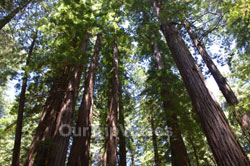 Muir Woods National Monument, Mill Valley, CA, USA - Picture 48