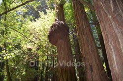 Muir Woods National Monument, Mill Valley, CA, USA - Picture 76