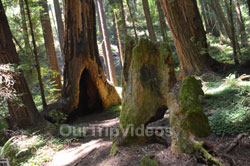 Muir Woods National Monument, Mill Valley, CA, USA - Picture 82
