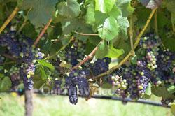 Napa and Sonoma Wine Country Tour, Napa, CA, USA - Picture 13