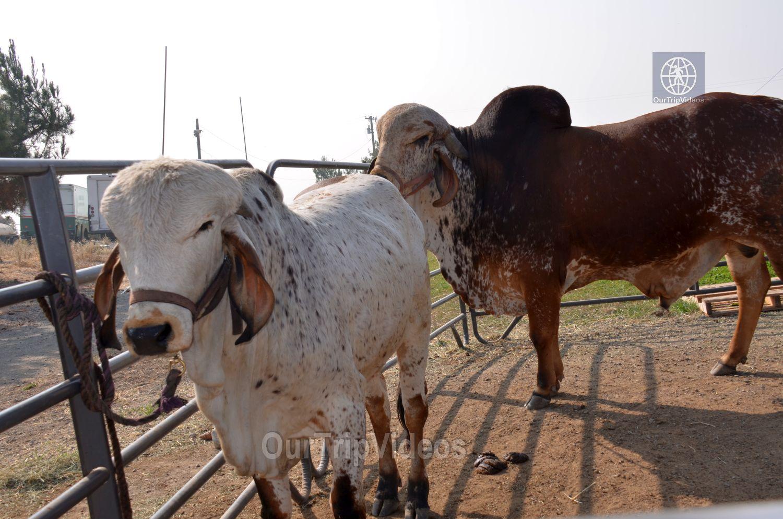 Gopashtami at Krishna Balaram Hasati Goshala, Milpitas, CA, USA - Picture 3 of 25