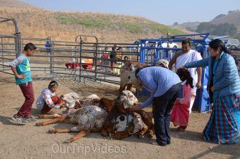 Gopashtami at Krishna Balaram Hasati Goshala, Milpitas, CA, USA - Picture 12