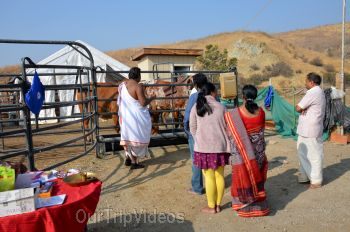 Gopashtami at Krishna Balaram Hasati Goshala, Milpitas, CA, USA - Picture 18