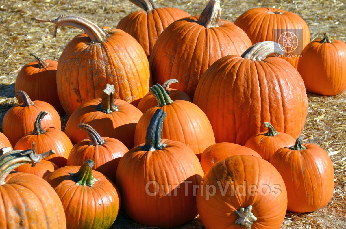 The Alameda Point Pumpkin Patch, Alameda, CA, USA - Picture 4 of 25