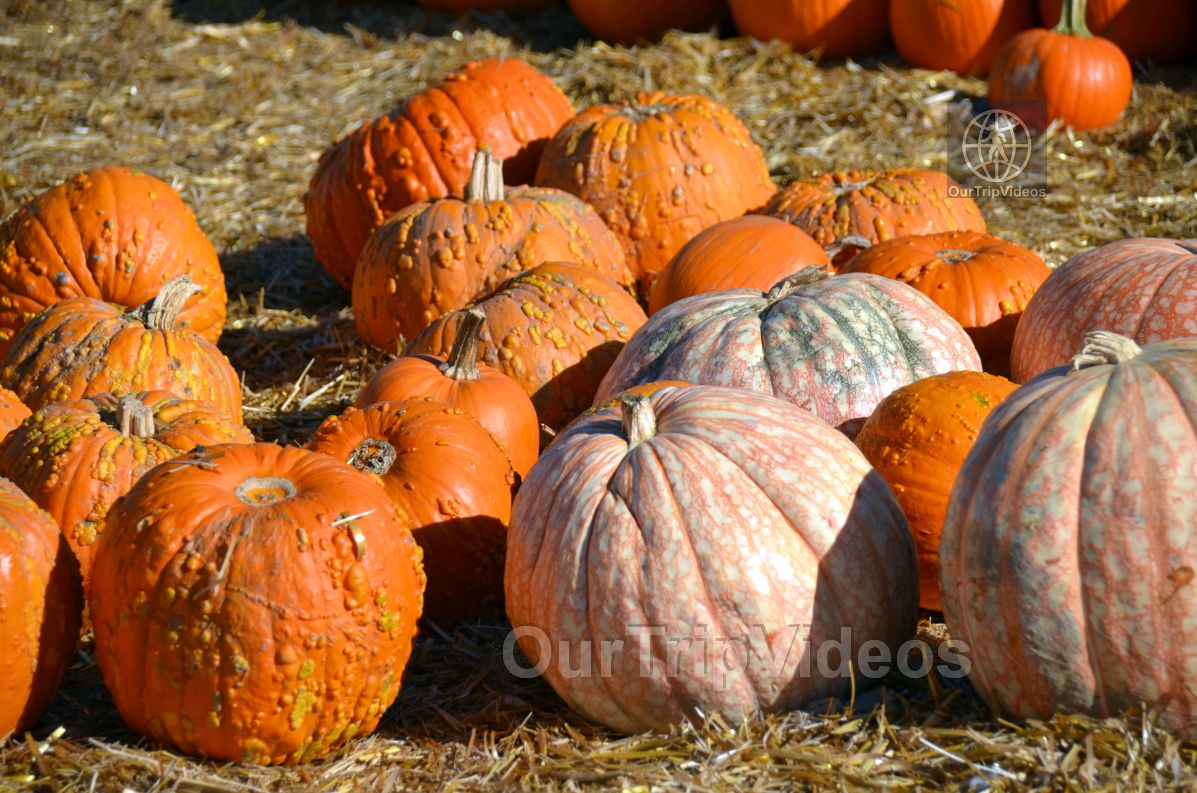 The Alameda Point Pumpkin Patch, Alameda, CA, USA - Picture 5 of 25