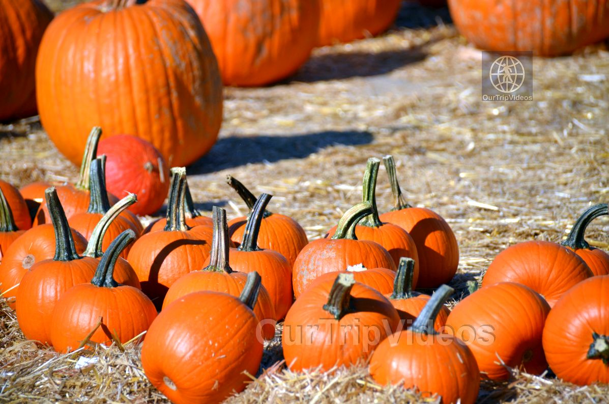 The Alameda Point Pumpkin Patch, Alameda, CA, USA - Picture 31 of 50