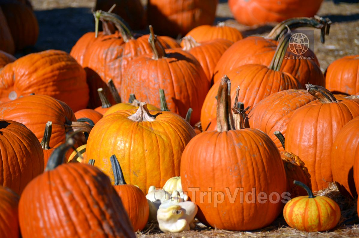 The Alameda Point Pumpkin Patch, Alameda, CA, USA - Picture 32 of 50