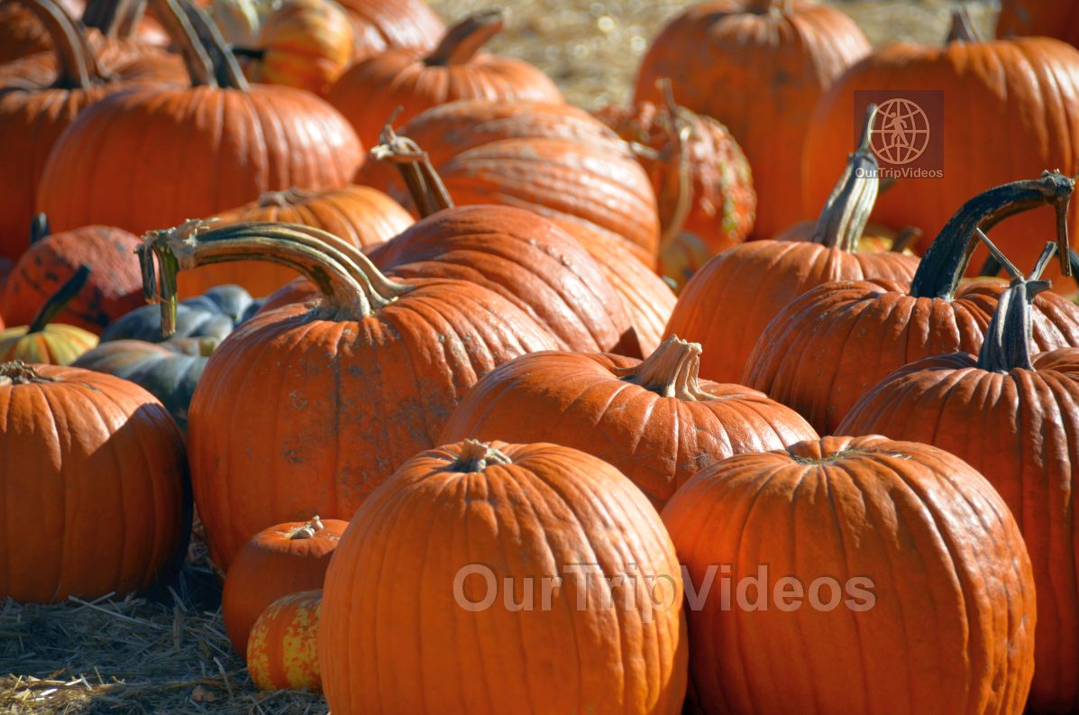 The Alameda Point Pumpkin Patch, Alameda, CA, USA - Picture 38 of 50