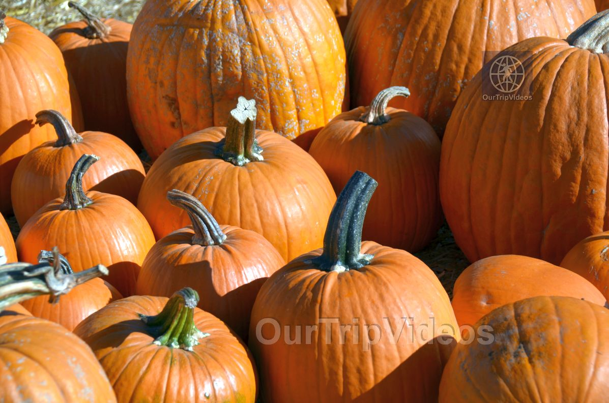 The Alameda Point Pumpkin Patch, Alameda, CA, USA - Picture 39 of 50