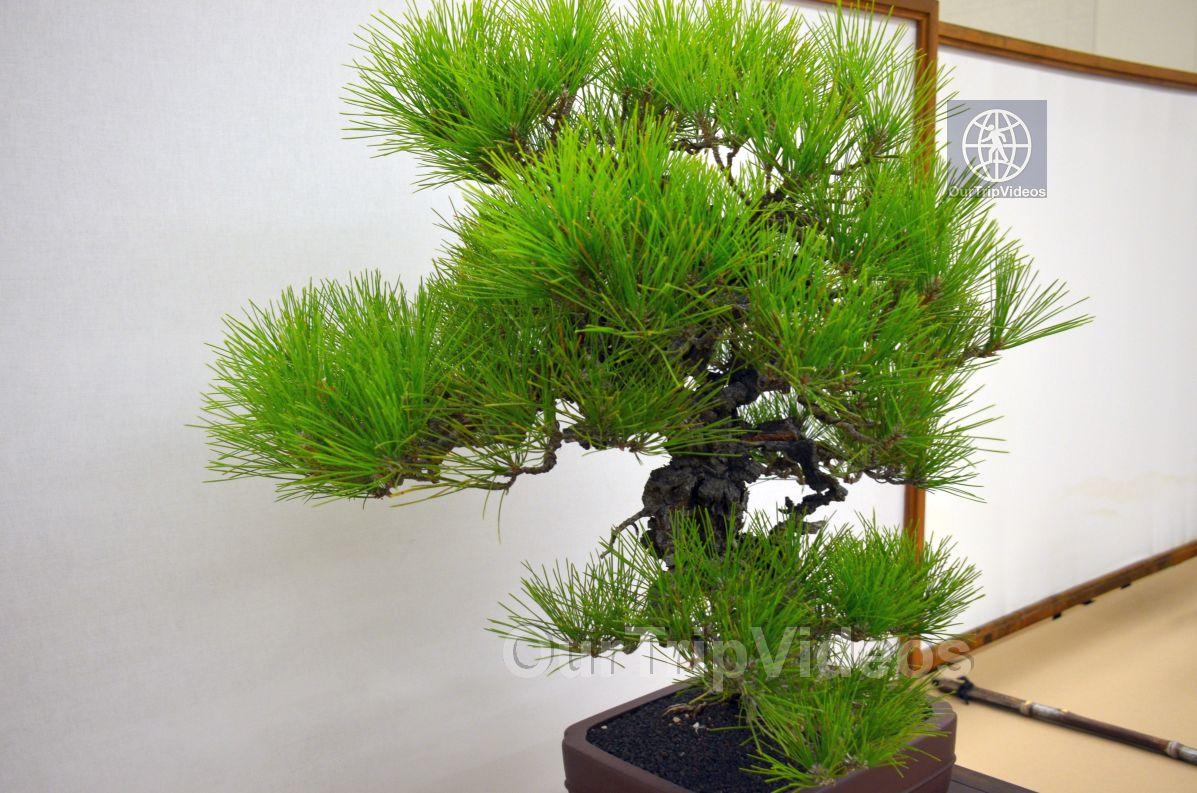 Annual Bonsai Exhibition, Union City, CA, USA - Picture 13 of 25