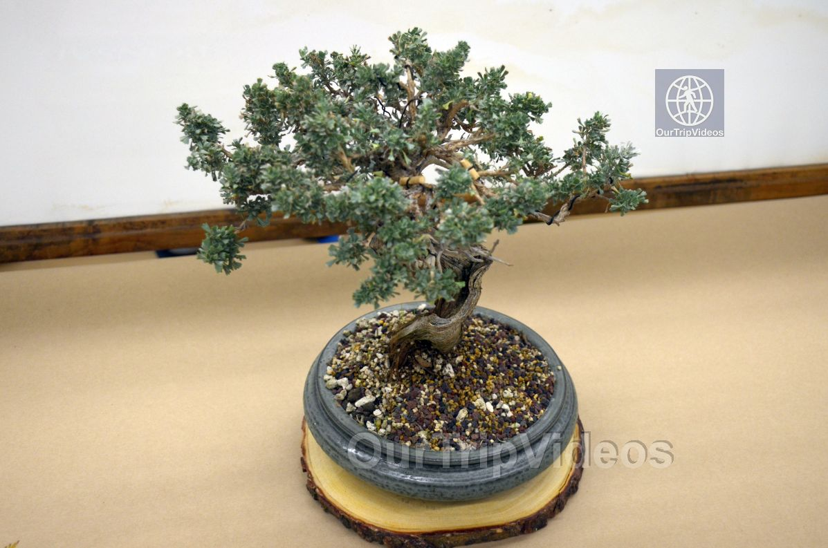 Annual Bonsai Exhibition, Union City, CA, USA - Picture 17 of 25