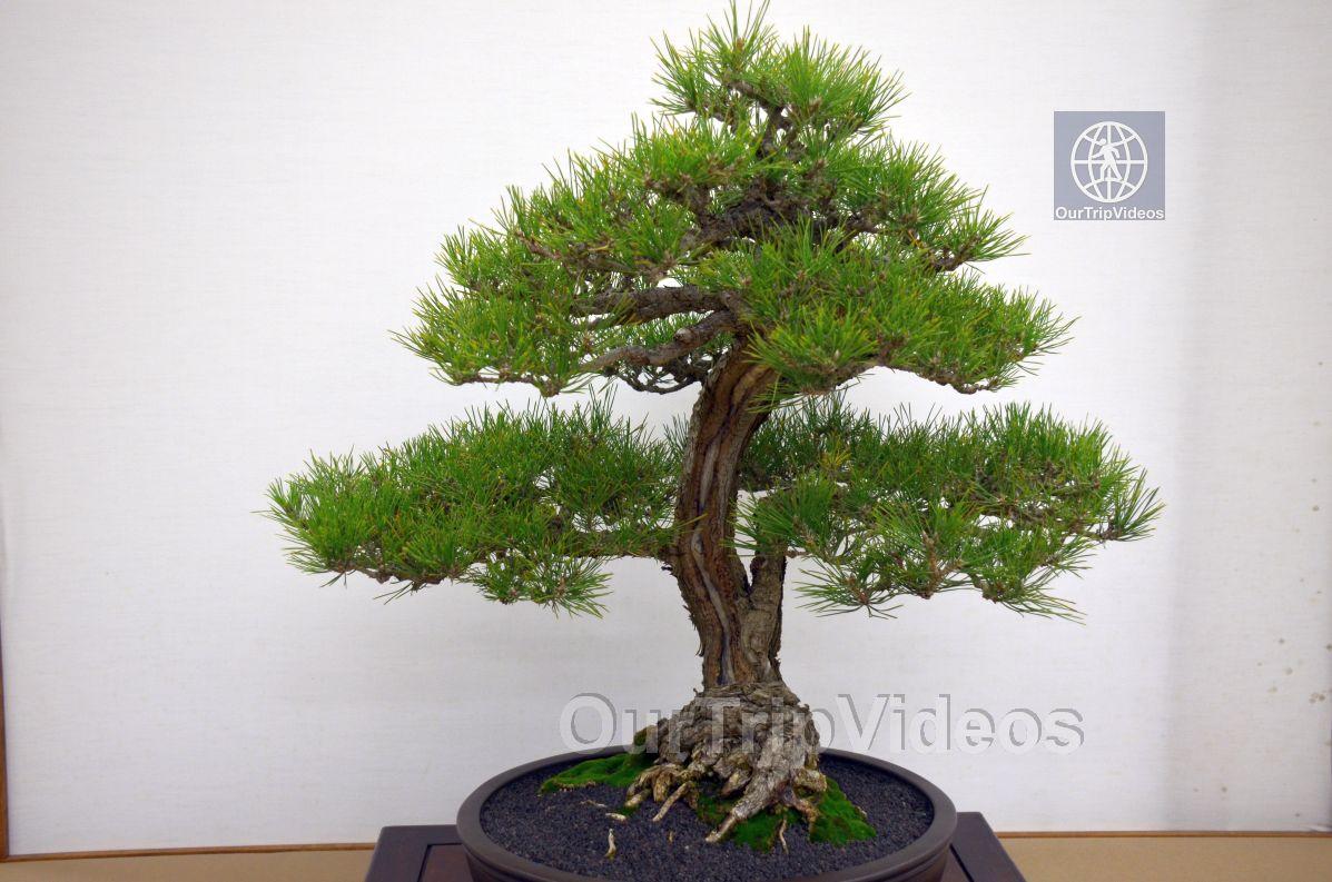 Annual Bonsai Exhibition, Union City, CA, USA - Picture 43 of 50