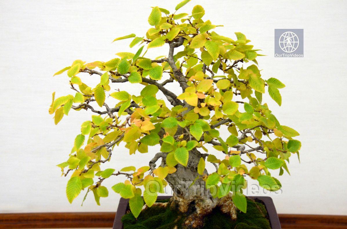 Annual Bonsai Exhibition, Union City, CA, USA - Picture 44 of 50