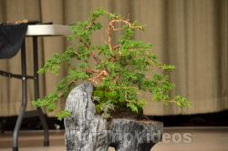 Annual Bonsai Exhibition, Union City, CA, USA - Picture 5