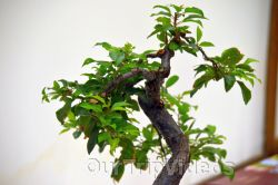 Annual Bonsai Exhibition, Union City, CA, USA - Picture 7