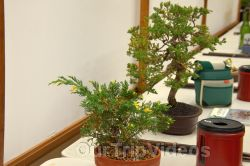 Annual Bonsai Exhibition, Union City, CA, USA - Picture 8