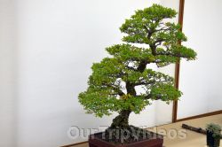 Annual Bonsai Exhibition, Union City, CA, USA - Picture 19
