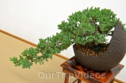 Annual Bonsai Exhibition, Union City, CA, USA - Picture 20