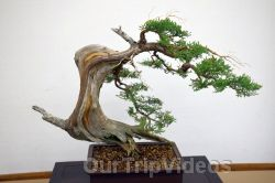Annual Bonsai Exhibition, Union City, CA, USA - Picture 23