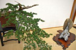 Annual Bonsai Exhibition, Union City, CA, USA - Picture 27