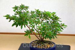 Annual Bonsai Exhibition, Union City, CA, USA - Picture 30