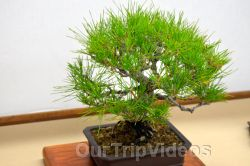 Annual Bonsai Exhibition, Union City, CA, USA - Picture 31
