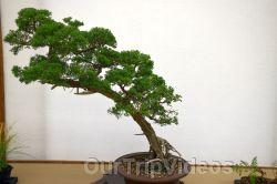 Annual Bonsai Exhibition, Union City, CA, USA - Picture 34