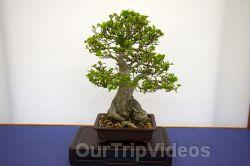 Annual Bonsai Exhibition, Union City, CA, USA - Picture 60