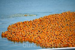 Pictures of Kiwanis Annual Ducks for Bucks Benefit Race, Fremont, CA, USA